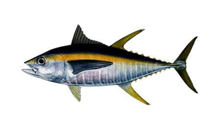 Thunnus-albacares