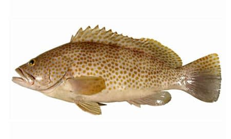 Epinephelus-bleekeri