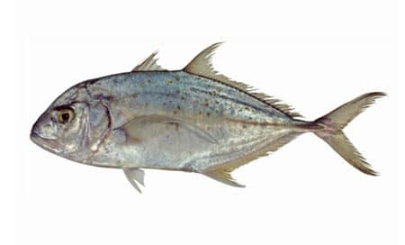 Carangoides-fulvoguttatus